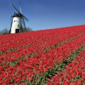 pays bas moulin et tulipes